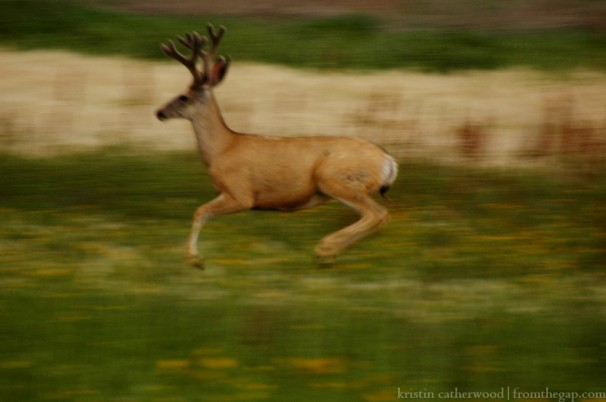 My camera lens is not fancy enough to catch the movement of the buck's flight, but blurry as it is, I think this photo captures just a bit of his grace. July 25, 2014.