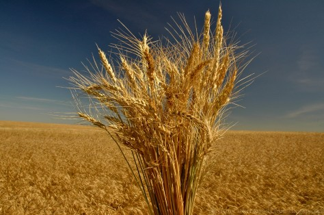 Bearded Wheat. Uncle Jim's farm. September 16, 2014.