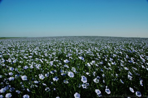 Flax in bloom. Some prairie people imagine it's the sea, when seen from a distance. Do you think Newfoundlanders ever see a ripe crop in an ocean view? July 30, 2014.