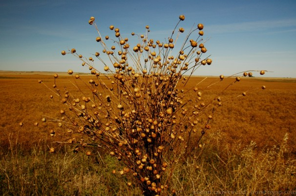 Flax. Janelle's farm. September 16, 2014.