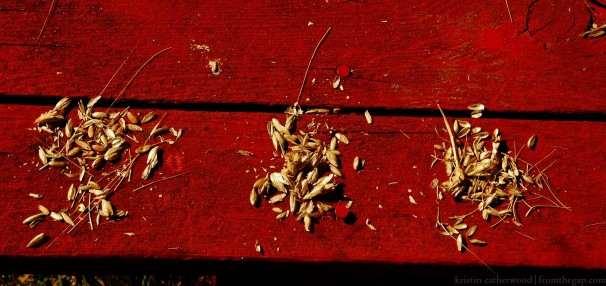 Three grains - can you tell the differences? September 16, 2014.