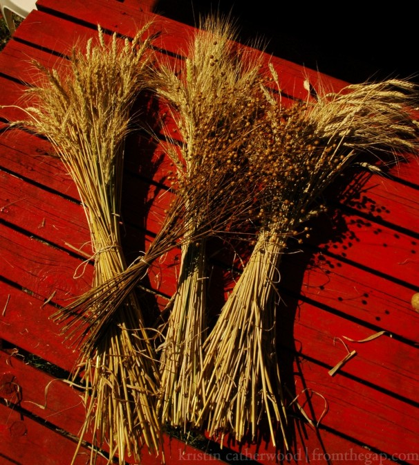 Sheaves: wheat, two types of durum, flax. September 16, 2014.