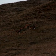 A group of mule deer spotted on the drive towards CYpress Hills.