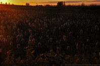 Bulrushes/Cattails at dusk. Between Brooking and Ceylon, R.M. of the Gap. September 27, 2015.